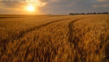 """""""Prueba piloto"""" para mejorar el precio del trigo"""