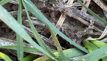 Alertan por presencia de roya de la hoja en trigo: recomendaciones