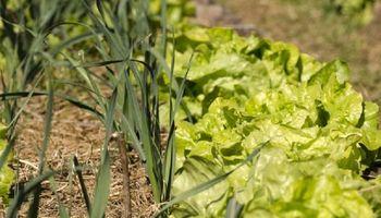 Huerta: cómo usar colores y olores para repeler insectos