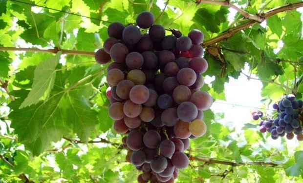 El Instituto de Vitivinicultura, asciendió la cosecha de uvas a 26.850.000 quintales en todo el país.