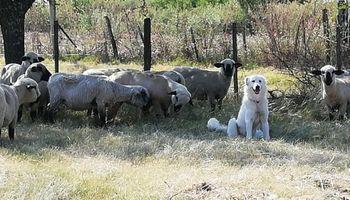 Raptor, el perro que protagonizó una asombrosa historia desde un campo de Entre Ríos