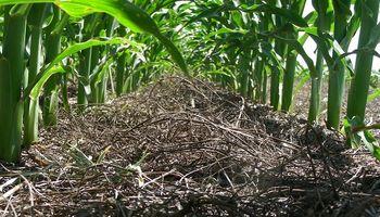 El INTA evaluó el aporte que generó al suelo la mayor incorporación de trigo y maíz