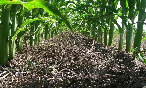 Aumentó la superficie de maíz y trigo, ¿aumentó el aporte de carbono al suelo?