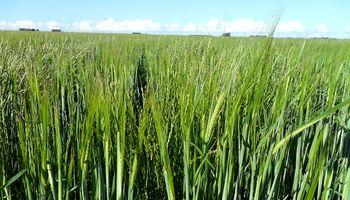 Duplicar la densidad de siembra reduce a la mitad la presencia de malezas