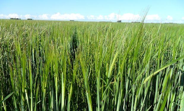 Lolium spp resistente a herbicidas en trigo y cebada.