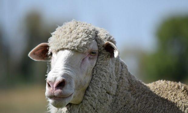 La raza doble propósito se convirtió en una alternativa para los productores que querían obtener carne y lana de alta calidad.