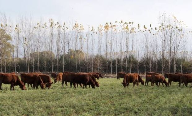 Lote de terneros en recría en la localidad mendocina de San Carlos.