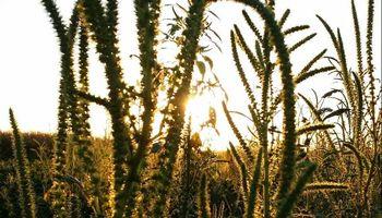 Malezas difíciles: qué recomiendan para un eficiente manejo a campo en soja y maíz