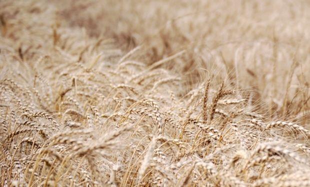 El trigo 2016/17, con potencial para crecer un 50 %.