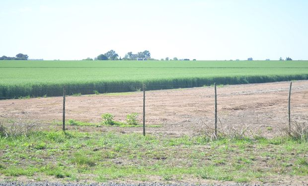 Cultivo de trigo en el sur santafesino.