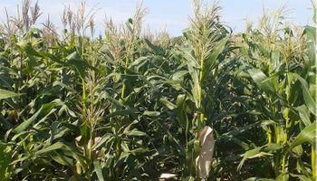 Insumo-producto: el poder de compra del maíz contra los fertilizantes cae hasta un 25%