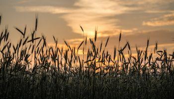 Soja, trigo y maíz: mejoró el poder de compra de los granos contra fertilizantes y herbicidas