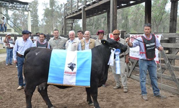 BRANGUS: La Gran Campeón Hembra Individual y Primer Premio para el Box 19, RP 3502 de la Cabaña Los Guasunchos de Gregorio, Numo Y Noel Werthein SA.
