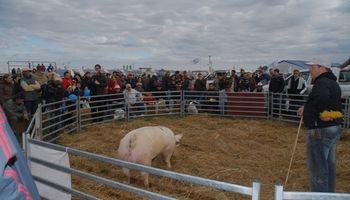 La mejor genética en cerdos se exhibirá en AgroActiva