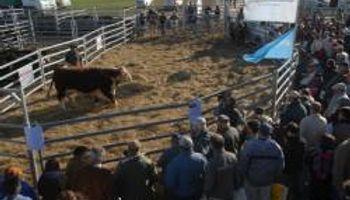 Subastaron reproductores bovinos en 30 mil pesos
