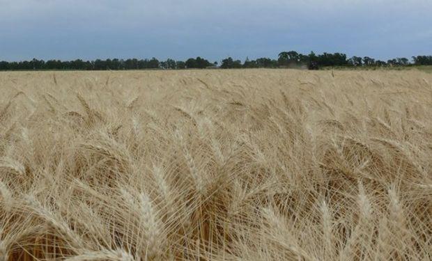 Estudios con buenos resultados para el trigo pan bonaerense.