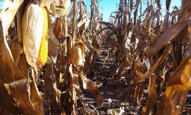 Si bien el maíz tiene un derecho de exportación nominal del 20% sobre el valor FOB, la retención efectiva vigentes es del orden del 37%.