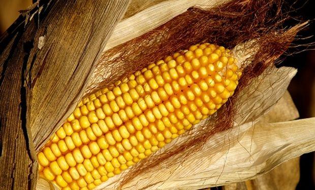 Retenciones anticipadas de maíz por más de 490 M/u$s.