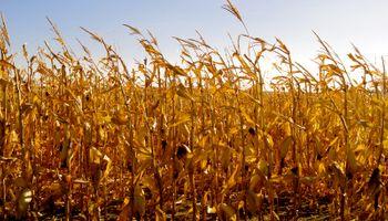 Período húmedo condiciona la cosecha de maíz de segunda