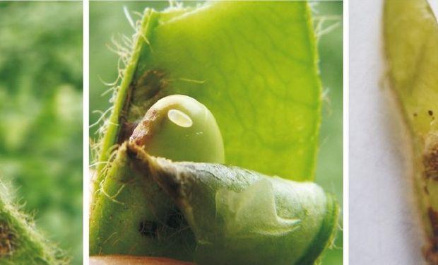 Presencia de Rhyssomatus subtilis en vainas de soja