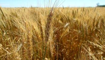 Rinde de indiferencia en trigo, por las nubes