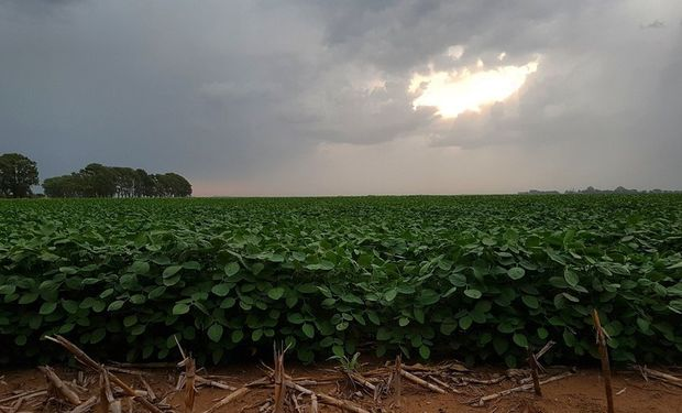Por la falta de lluvias, la oleaginosa viene resignando un 11 por ciento de su rendimiento..