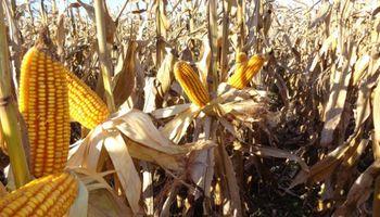 Buenos resultados para el maíz tardío