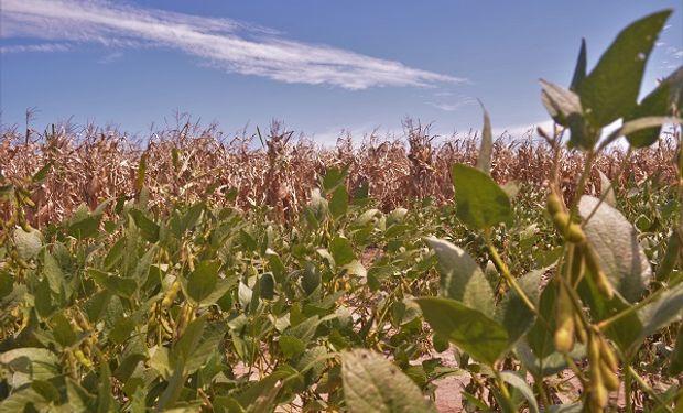 Rindes de maíz vs soja, ¿quién ganó más en los últimos 10 años?