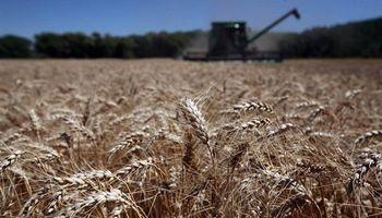 Creció un 133% el margen bruto para los productores de trigo