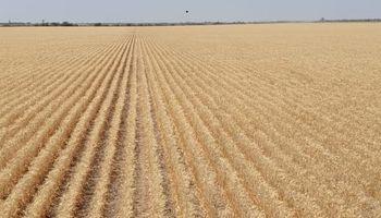 La lluvia llegó tarde para el trigo: rinde promedio de 8,5 qq/ha y lotes que van para animales o que se barbechan