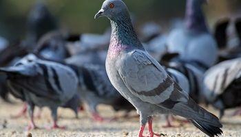 El regreso de las palomas mensajeras en la era digital: cómo se entrenan y para qué se usan