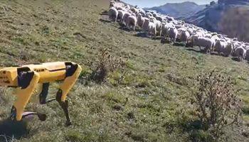 """Usan """"perros robots"""" para pastorear ovejas y monitorear cultivos"""