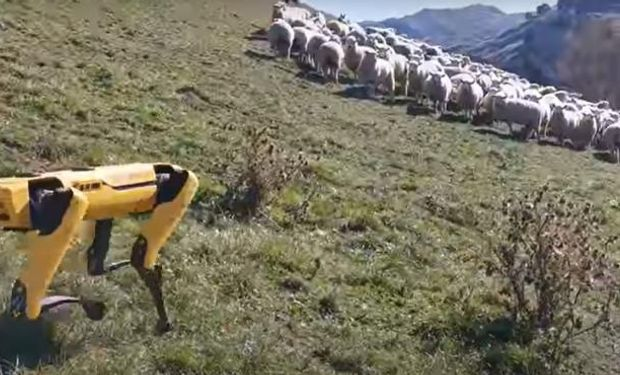 """Perros """"robot"""" guiando ovejas."""