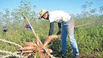 Juega en River y en las vacaciones cosecha mandioca