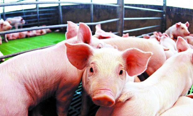 Destacan ventajas estrategicas para producir carne de cerdo en argentina