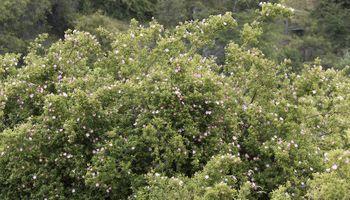 La rosa mosqueta, ¿un potencial biocombustible?
