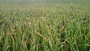 Roya amarilla, anaranjada y mancha amarilla, las principales enfermedades del trigo en Entre Ríos