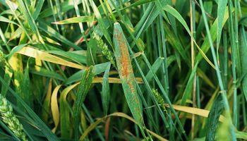 Amenaza de roya en trigo