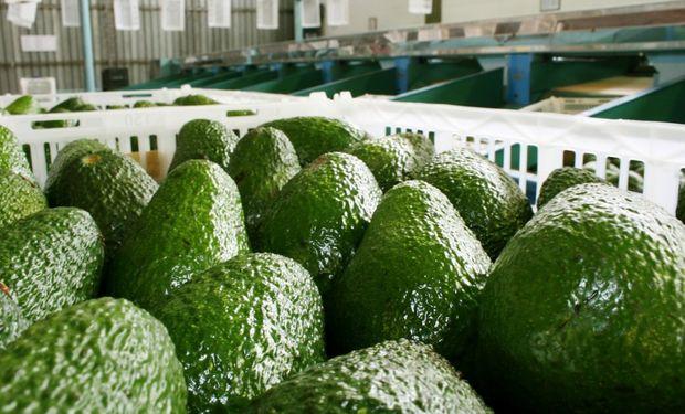 La principal región productora es el NOA, que concentra el 75% de la producción de palta en nuestro país.