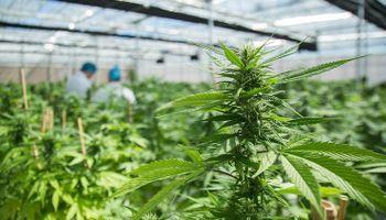 El INASE publicó las condiciones para la producción de Cannabis en invernaderos