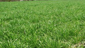 Cómo controlar el Rye Grass resistente