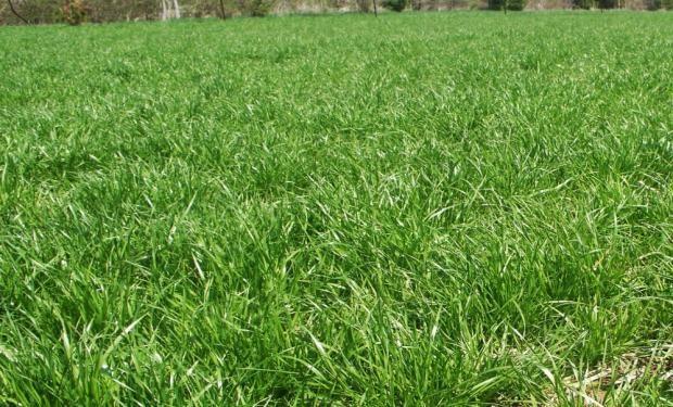 Una de las mejores estrategias para evitar nuevos nacimientos de Rye Grass provenientes de semilla pasa por la utilización de Ligate® STS en el barbecho químico largo.