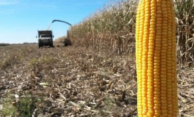 Detalles de los aspectos clave en los cultivos de maíces de siembra tardía: la inocuidad y su calidad comercial.