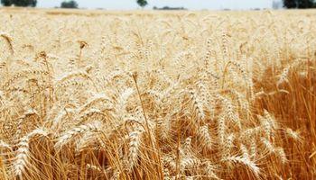 Importante saldo exportable de trigo, ¿y los ROEs?