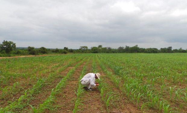 Comenzaron los ensayos de siembra directa en Ghana.