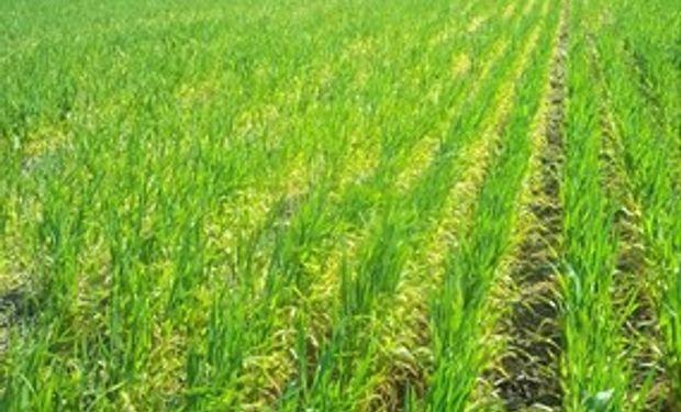 El 35% del área sembrada con trigo está casi perdida