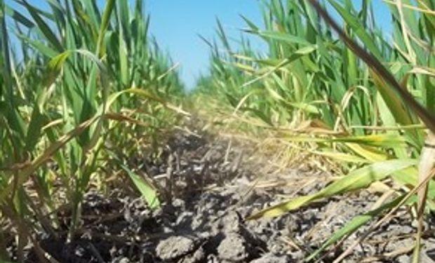 Lluvias aliviarían trigo e impulsarían siembra maíz en Argentina