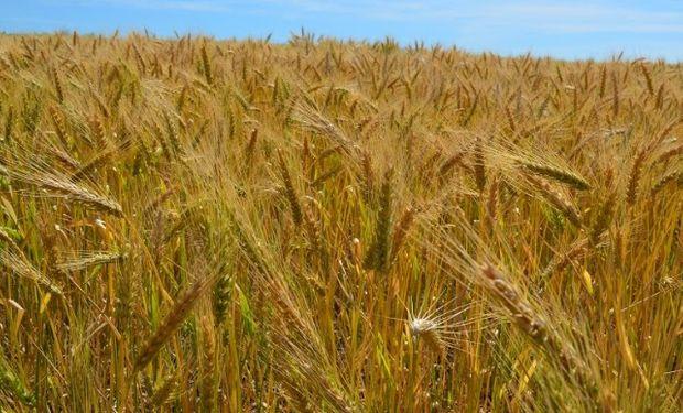 Las condiciones de siembra son óptimas y la cosecha de trigo se encamina a alcanzar un récord histórico.