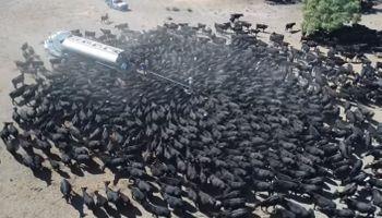 La peor sequía en 50 años golpea a Australia: así intentan hidratar al ganado