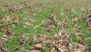Qué tener en cuenta para sembrar trigo sobre el rastrojo del maíz